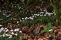 Galanthus nivalis in Loch Lomond and The Trossachs National Park-2.jpg
