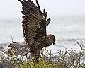 Galapagos Hawk (Buteo galapagoensis) (20332195739).jpg