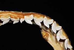 Tiger shark - Image: Galeocerdo cuvier upper teeth