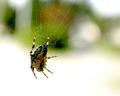 Garden spider.png
