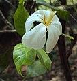 Gardenia gummifera 07.JPG