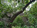 Gardenia latifolia on Miliusa tomentosa (9971305346).jpg