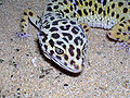 Gecko léopard femelle adulte tête.jpg