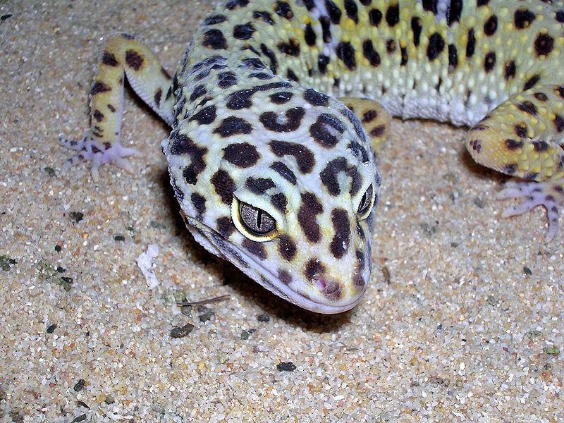 Bestand:Gecko léopard femelle adulte tête.jpg