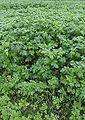Gele mosterd groenbemesting (Sinapis alba green manuring).jpg