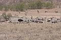 Gemsbok (Oryx gazella) (8603176457).jpg