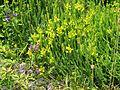 Genista sagittalis - Flickr - peganum.jpg
