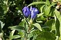 Gentiana triflora var. japonica subvar. montana 01.jpg