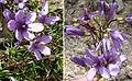 Gentianella trisicha (8439699814).jpg