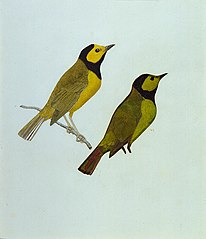 Hooded Warblers, study for book Concealing Coloration in the Animal Kingdom