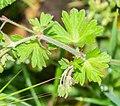 Geranium pyrenaicum in Aveyron (1).jpg