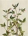 Geranium robertianum WFNY-119 (17804916184).jpg