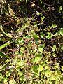 Geranium rotundifolium sl27.jpg