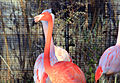 Gfp-american-flamingo.jpg