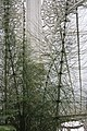 Giant Horsetail, Kibble Palace, Glasgow.jpg