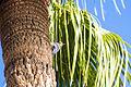 Gila Woodpecker (23274746770).jpg