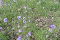 Gilia laciniata.jpg