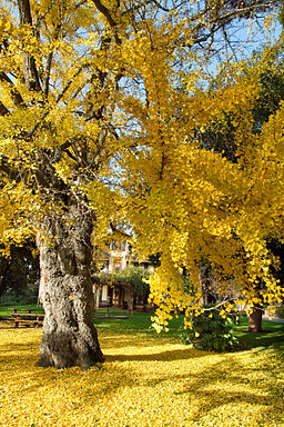 Ginkgo-biloba-tree-in-fall