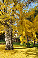 Ginkgo-biloba-tree-in-fall.jpg