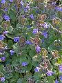 Glechoma hederacea, Hondsdraf (2).jpg