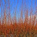 Glowing dogwoods - geograph.org.uk - 1151264.jpg