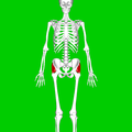 Gluteus medius muscle03.png