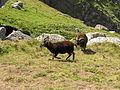 Goats on Lundy (5).jpg