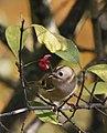 Goldcrest Photo by Md Sharif Hossain Sourav.jpg