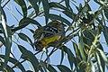 Golden-bellied Grosbeak - Ecuador S4E3387 (23811687785).jpg