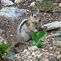 Golden-mantled Ground Squirrel (15045339066).jpg