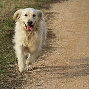 Golden retriever running on a dirt road.jpg