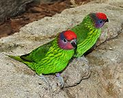 Goldies Lorikeet