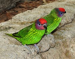 Goldies Lorikeet.jpg