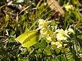 Gonepteryx rhamni im Herrschinger Moos HB-06.jpg