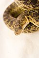 Gopher Snake Pituophis catenifer 01.jpg