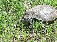 external image 200px-Gopher_Tortoise.jpg