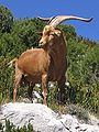 Gorges du Verdon Goat-Rove-brown 0255-1.jpg