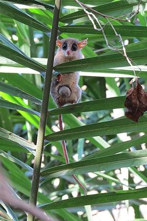 Agile gracile opossum - Gracilinanus agilis in an acuri palm