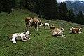 Grasende Kühe am Wegesrand im Seebachtal 20190820 003.jpg