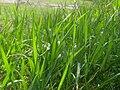 Grass after rain.JPG
