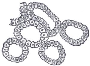 Alveolar gland - Image: Gray 897