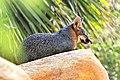 Gray fox (48153062201).jpg