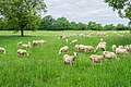 Grazing sheeps in Bezonnes (2).jpg