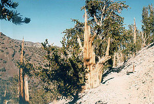 English: Great Basin Bristlecone Pine in Inyo ...