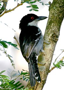 Great Antshrike - Male.jpg