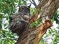Great Horned Owl, Malheur NWR, Oregon 1.jpg