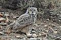 Great Horned Owl on Seedskadee National Wildlife Refuge (22312702886).jpg
