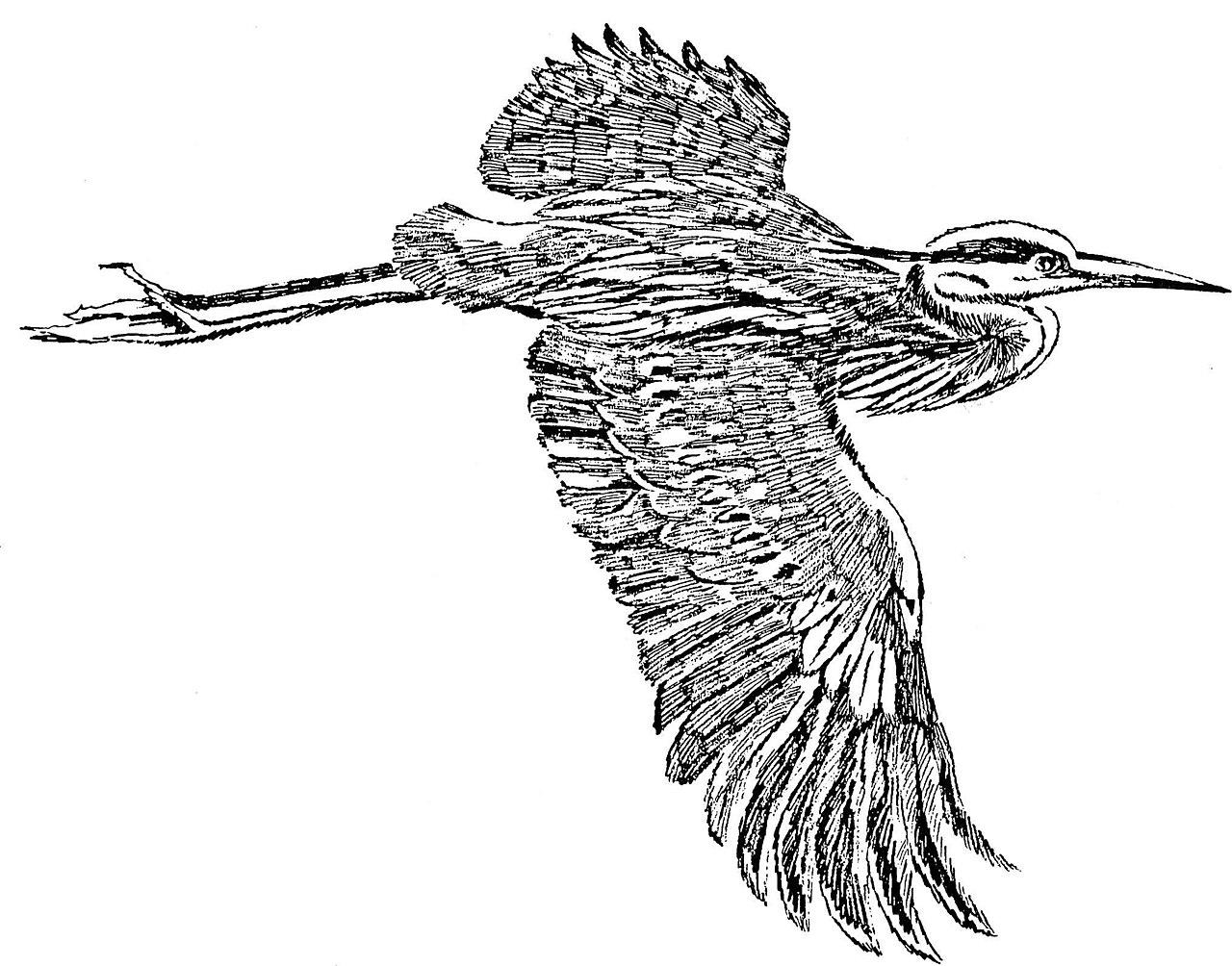 Jpg To Line Art : File great blue heron in flight line art drawing