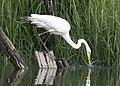 Great egret strike little bay july (14104790140).jpg