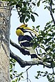 Great hornbill from anaimalai hills JEG4764.jpg